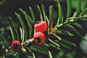 owoce zatrutego drzewa